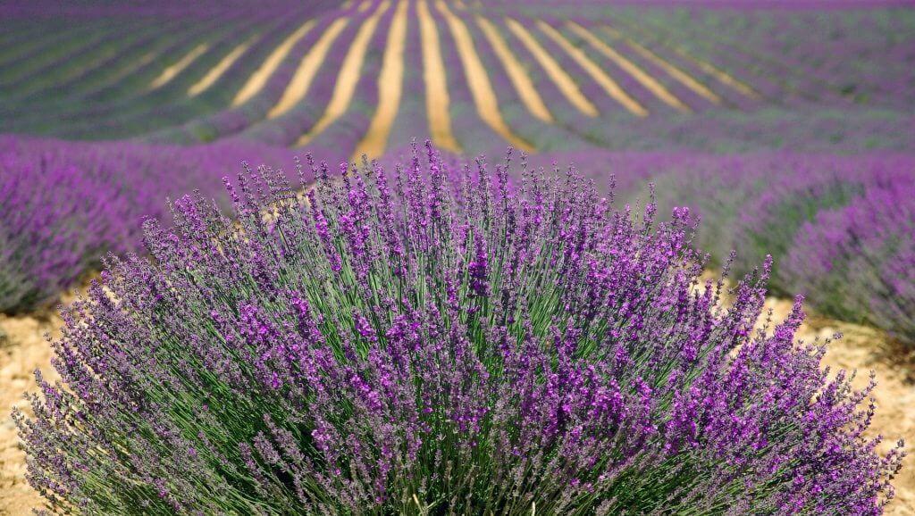 lavender-894919_1920
